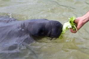 Feeding  manatee at Alligator Hole, Jamaica